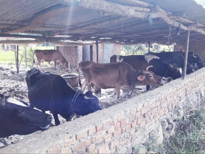 सन्धिखर्क नगरपालिकाले गाई–भैंसीलाई सुत्केरी भत्ता प्रदान गर्ने